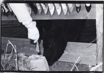 Cows, 1982 gelatin-silver print