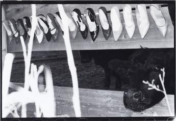 Cows1982 copy
