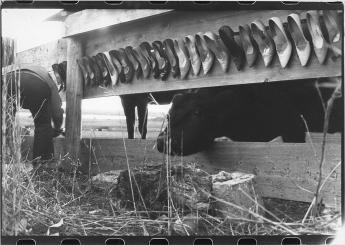 Cows2.1982 copy